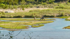 Waterbuck Males in Natural African River Setting Stock Footage