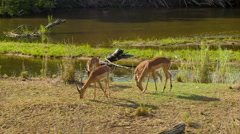 Vibrant Impala at Riverside African Nature Scene Stock Footage