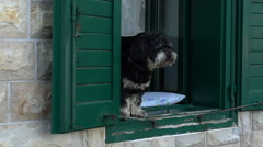 Black Dog on the green window of a stone house barks at passersby Stock Footage