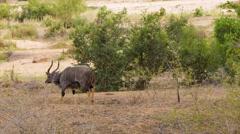 Solitary Nyala Male Walking in Natural African Habitat Stock Footage