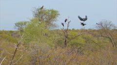 South African Pelicans on Trees in the Bushveld Stock Footage