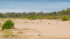 Baboon Troop Walking Over Wide Sandy African Landscape Stock Footage
