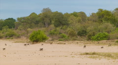 Baboon Troop Walking Over Sandy African Landscape Stock Footage