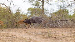 Nyala Herd in Natural African Habitat Stock Footage