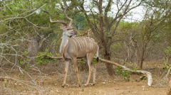Strong Kudu Alpha Male in South Africa Stock Footage