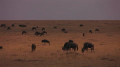 A herd of wildebeests are stopping to graze on the plains. Stock Footage