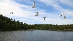 Flying seagulls off the coast of the island of Valaam Stock Footage