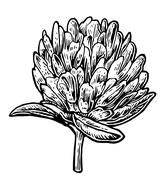 Clover. Vector vintage illustration on white background Stock Illustration