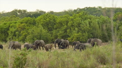 Herd of African Elephants in Green Natural Landscape Stock Footage