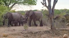 Large African Elephant Herd Walking Through Bushveld Stock Footage
