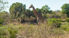 Tall Giraffe Walking in Natural African Bushveld Stock Footage
