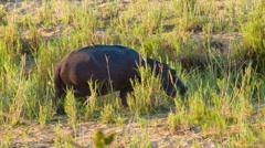 Hippopotamus Close-up in Natural African Habitat Stock Footage