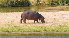 Hippopotamus with Red Skin Close-up on African Riverbank Stock Footage
