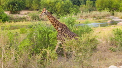 Giraffe with Vibrant Colors in Natural African Habitat Stock Footage