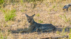 Black-backed Jackal in Natural African Habitat Stock Footage
