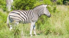 Zebra in Natural Green Grass African Habitat Stock Footage