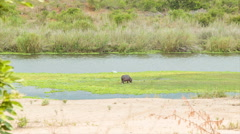African Hippo on Natural Green River Marsh Habitat Stock Footage