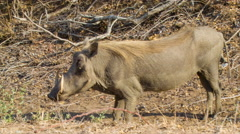 Warthog Close-up in Dry Natural African Habitat Stock Footage