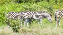 Zebras in Natural Green Grass African Habitat Stock Footage