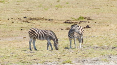 Two Zebras Standing in African Plain Stock Footage