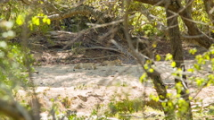 Lionesses Laying on Sandy Dried Riverbed in Africa Stock Footage