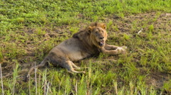 Lion Male Close-up in Natural African Habitat Stock Footage