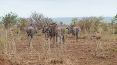 Wildebeest Herd Close-up in Dry African Landscape Stock Footage