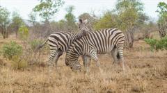Playful Zebras in Natural African Habitat Stock Footage