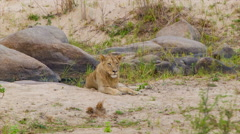 Female Lion Laying in Natural African Habitat Stock Footage