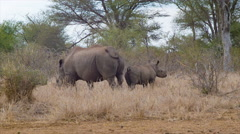 Mother and Young Rhinos in Natural African Habitat Stock Footage