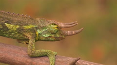 A horned chameleon walks through the branches. Stock Footage