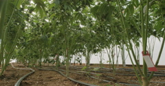 Marijuana Plants Grow Farm View From Bottom of Hoses, Stems Stock Footage