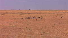 A group of vultures stand close to an animal carcass. Stock Footage