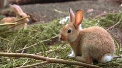 Cute little orange rabbit Stock Footage