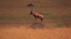 An antelope stands on top of a dirt mound staring ahead. Stock Footage