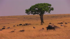 Zebras and wildebeest occupy a grassy plain. Stock Footage