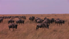 A herd of wildebeests are walking across a plain. Stock Footage
