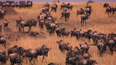 A herd of wildebeests stand or walk around on the plains. Stock Footage