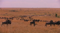 A large herd of wildebeest moves across a plain. Stock Footage