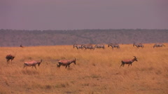 Wildebeests and zebras move across an African plain. Stock Footage