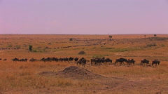 A long  line of wildebeests travels across the plains. Stock Footage