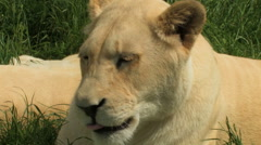 White lion portrait, lioness licking lips and sniffing the air. Stock Footage