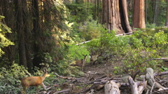 Sequoia Forest Mule Deer 01 Grant Grove Kings Canyon Sunset 4K Stock Footage