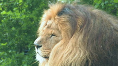 African Lion Portrait in contemplation. Handsome beast! Stock Footage