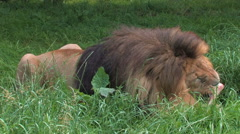 African LION eating his kill and crunching bones Stock Footage