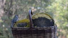 Lots of little birds pecking sunflower seeds Stock Footage