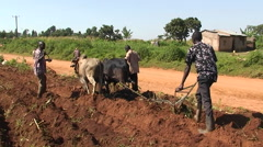 Three men and an ox plough crops in an African village. Stock Footage