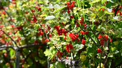 Bunches of red currant hanging in garden Stock Footage