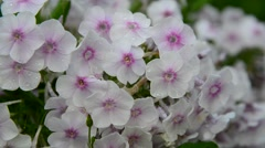 White abundant flowering phlox in large Stock Footage