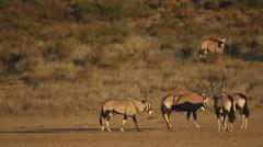 Gemsbok antelopes in natural habitat, Kalahari desert, South Africa Stock Footage